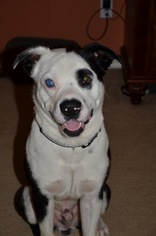American Staffordshire Terrier Mix Dog For Adoption in Houston, TX, USA