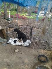 Border Collie Mix Dog For Adoption in Albemarle, NC