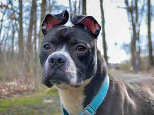 American Boston Bull Terrier Dog For Adoption in Pittsburgh, PA, USA