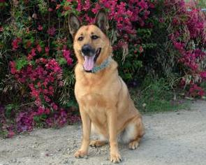 German Shepherd Dog Mix Dog For Adoption in San Diego, CA