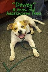 Bulldog Mix Dog For Adoption in Waycross, GA, USA