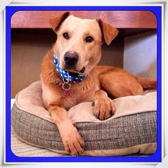 Labrador Retriever Mix Dog For Adoption in Tucson, AZ