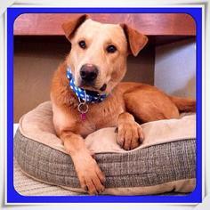 Labrador Retriever Mix Dog For Adoption in Tucson, AZ, USA