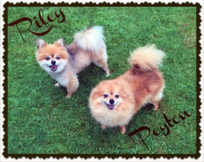 Pomeranian Dog For Adoption in Harrisburg, PA