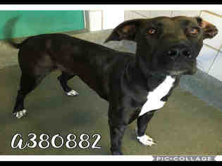 Great Dane Dog For Adoption in San Antonio, TX, USA