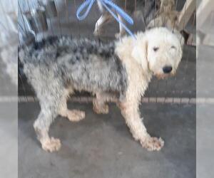 Old English Sheepdog Dogs for adoption in Bonifay, MO, USA