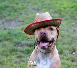 American Pit Bull Terrier-Mastiff Mix Dog For Adoption in Tyrone, PA, USA
