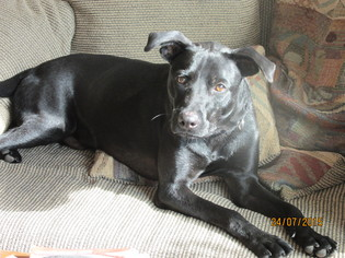 Labrador Retriever Mix Dog For Adoption in San Antonio, TX