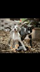 Bullboxer Pit Dog For Adoption in Fort Myers, FL, USA
