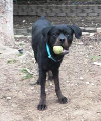 Rottweiler Dog For Adoption in Austin, TX
