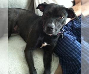 American Pit Bull Terrier-Unknown Mix Dogs for adoption in Rockaway, NJ, USA