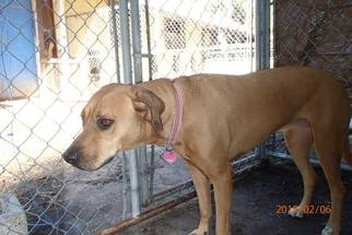 Labrador Retriever Mix Dog For Adoption in Chuluota, FL, USA