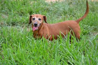 Dachshund Dogs for adoption in Rock Hill, SC, USA