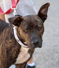 Boxer Mix Dog For Adoption in San Diego, CA