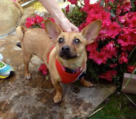 Basenji Dog For Adoption in Redondo Beach, CA