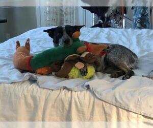 Australian Cattle Dog Dogs for adoption in Chandler, AZ, USA