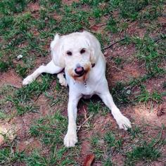 Labradoodle Dog For Adoption in Temple, GA