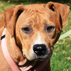 American Staffordshire Terrier-Boxer Mix Dog For Adoption in Huntley, IL