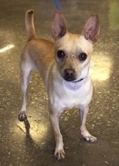 Chihuahua Dog For Adoption in Frisco, TX, USA