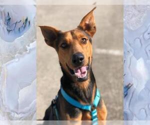 View Ad Doberman Pinscher German Shepherd Dog Mix Dog For Adoption Near Texas Sugar Land Usa Adn 312535