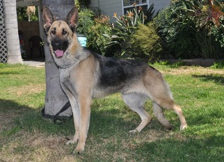 German Shepherd Dog Dog For Adoption in Newport Beach, CA, USA