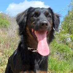 Cocker Spaniel-German Shepherd Dog Mix Dog For Adoption in San Diego, CA, USA