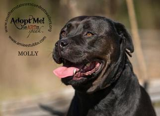 Rottweiler-American Pit Bull Terrier Dog For Adoption in White Hall, AR, USA