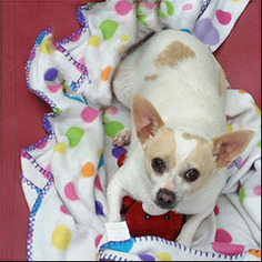 Chihuahua Dog For Adoption in Shreveport, LA, USA