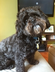 Shih-Poo Dog For Adoption in Monkton, MD, USA