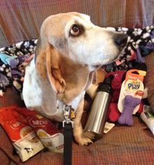 Basset Hound Dog For Adoption in Carrollton, TX