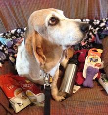 Basset Hound Dog For Adoption in Carrollton, TX, USA