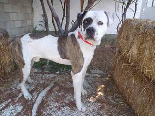 American Bulldog Dog For Adoption in Beverly Hills, CA, USA