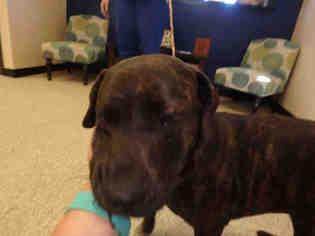 Bullmasador Dog For Adoption near 78626, Georgetown, TX, USA