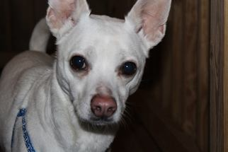 Chihuahua Mix Dog For Adoption in Gilbertsville, PA, USA