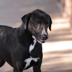 Labrador Retriever Mix Dog For Adoption in Clifton, TX, USA