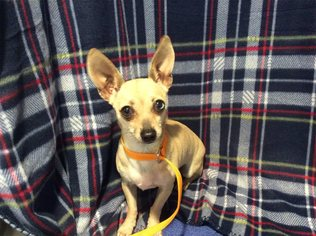 Chihuahua Dog For Adoption in pomona, CA, USA