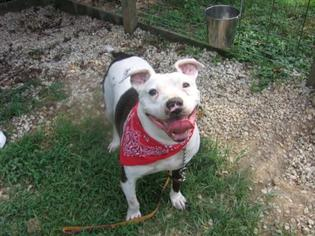 Bulloxer Dog For Adoption in Decatur, GA