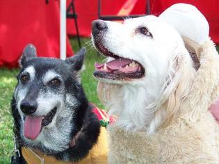 Pembroke Welsh Corgi Mix Dog For Adoption in San Diego, CA