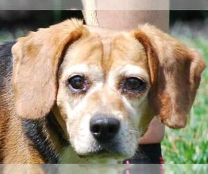 Beagle Dogs for adoption in Chesapeake City, MD, USA