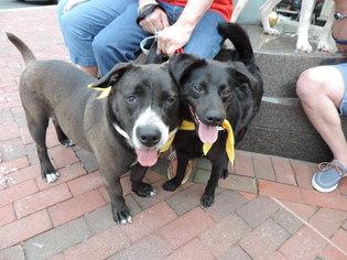 Bully Basset Dog For Adoption in Fredericksburg, VA, USA