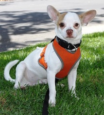 Jack Chi Dog For Adoption in Los Angeles, CA, USA