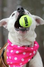 Labrador Retriever Mix Dog For Adoption in Marietta, GA