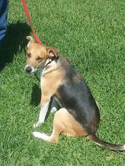 Beagle Mix Dog For Adoption in Liverpool, TX, USA