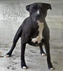 American Pit Bull Terrier Mix Dog For Adoption in Blacklick, OH, USA