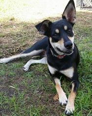 Rat Terrier Mix Dog For Adoption in Lithia, FL, USA