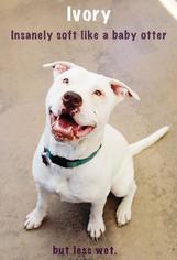 American Pit Bull Terrier-Chinese Shar-Pei Mix Dog For Adoption in San Francisco, CA