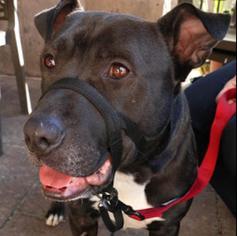 American Bulldog-Labrador Retriever Mix Dog For Adoption in Dana Point, CA