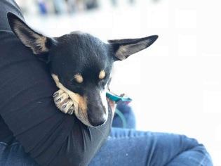 Chihuahua Mix Dog For Adoption in Bellevue, WA, USA