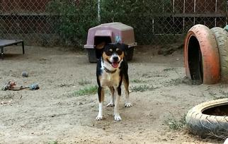Beagle-Border Collie Mix Dog For Adoption in Lemoore, CA