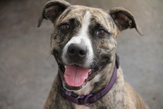 American Pit Bull Terrier-American Staffordshire Terrier Mix Dog For Adoption in Fort Lauderdale, FL